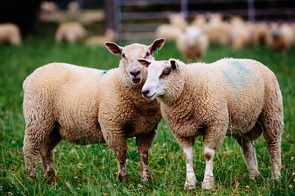 Irländskt lamm