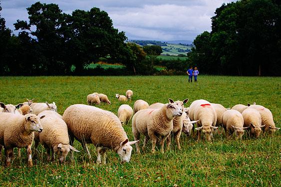 Irländskt lamm - Effektiv kvalitetssäkring