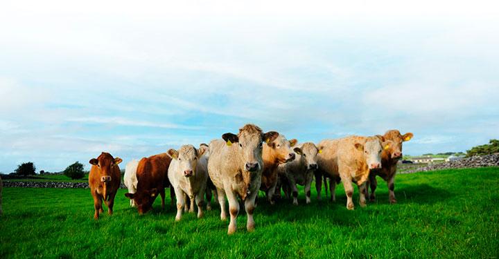Hållbar nötköttsproduktion